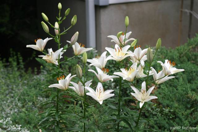 2007 asiatic lily