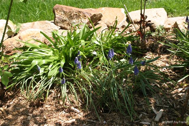 2007 grape hyacinth
