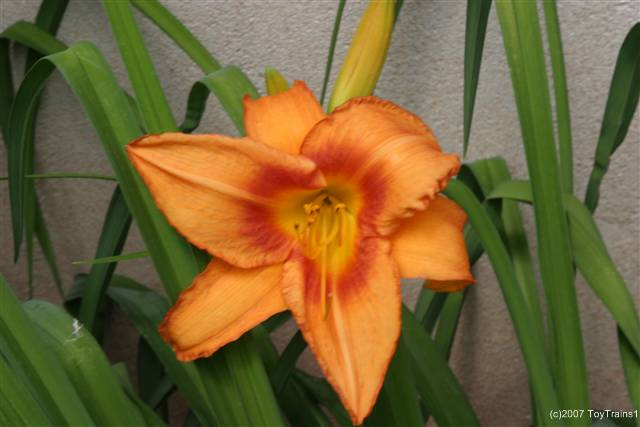 2007 leebea orange crush daylily