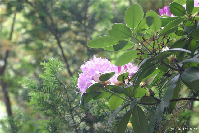 2007 rhododendron