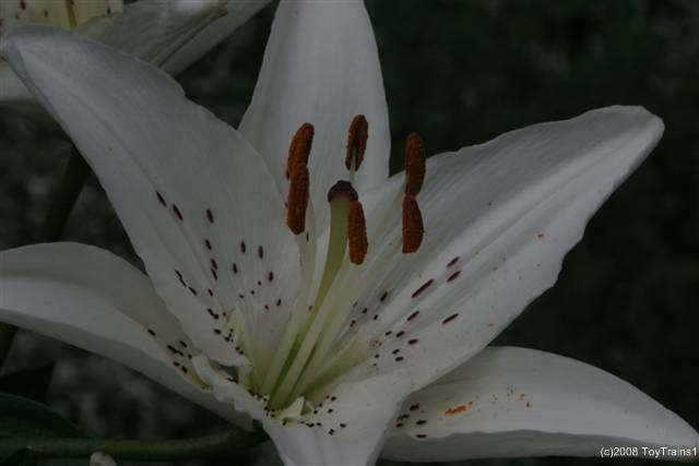 2008 asiatic lily