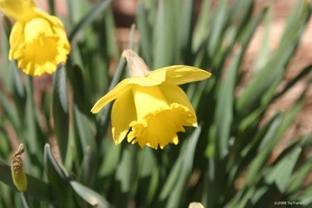 2008 daffodil