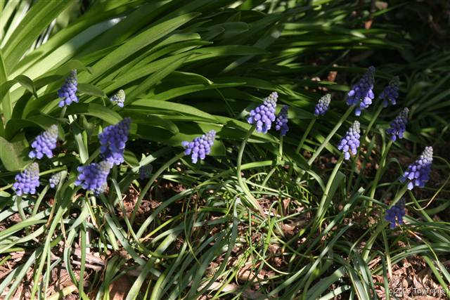 2008 grape hyacinth
