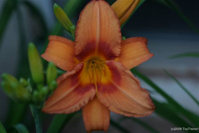 2008 leebea orange crush daylily