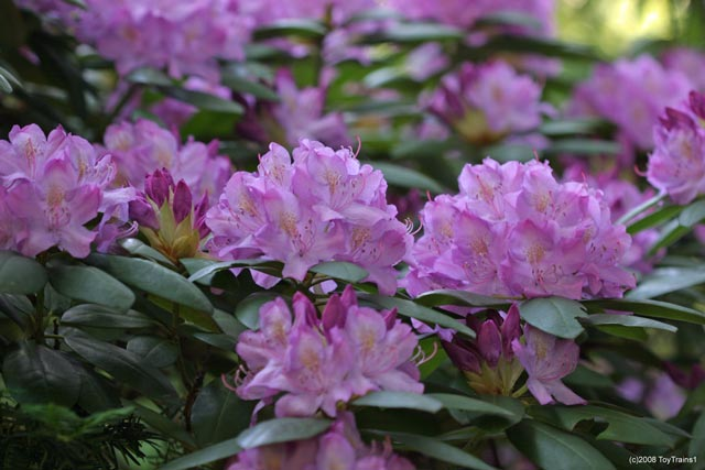 2008 rhododendron