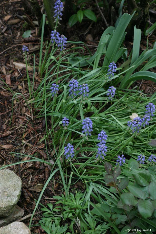 2009 grape hyacinth