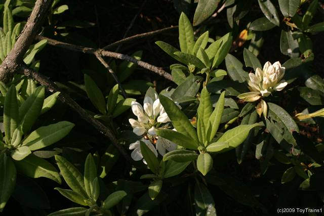 2009 rhododendron