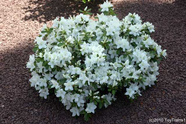 2010 delaware valley white azalea