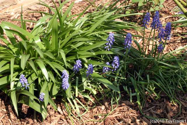 2010 grape hyacinth