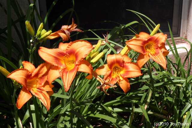 2010 leebea orange crush daylily