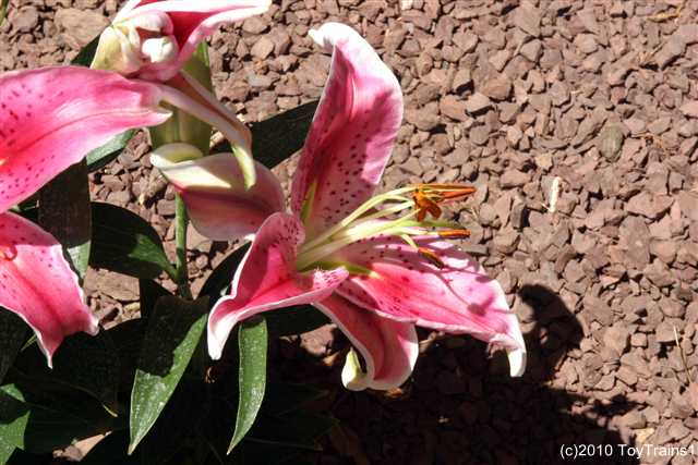 2010 oriental lily