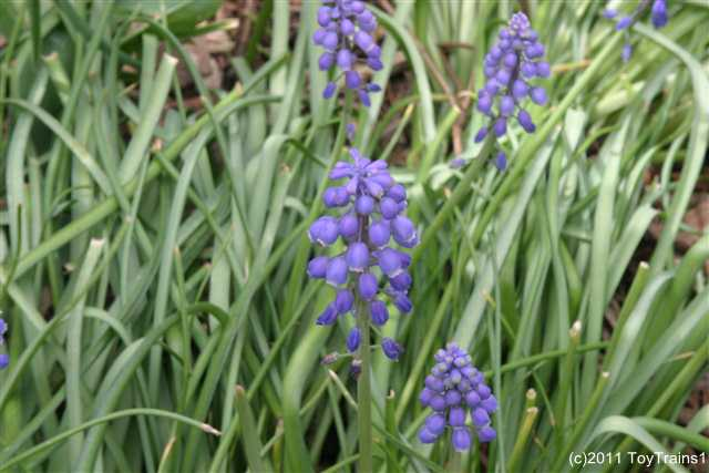 2011 grape hyacinth