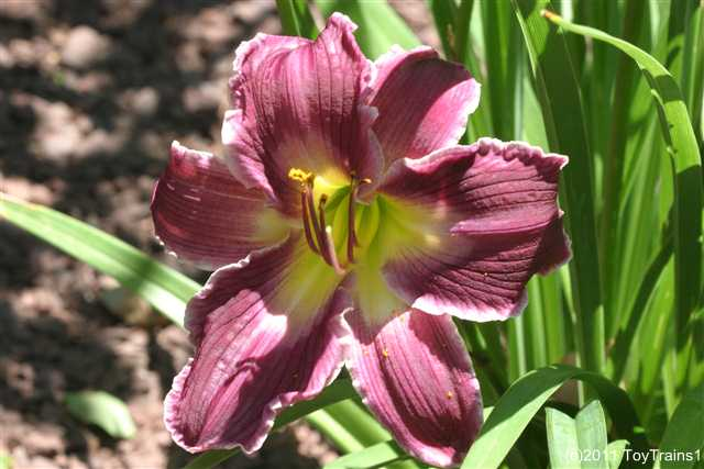 2011 indian giver daylily
