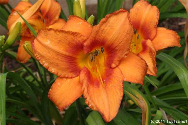 2011 leebea orange crush daylily