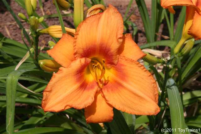 2011 leebea orange crush daylily