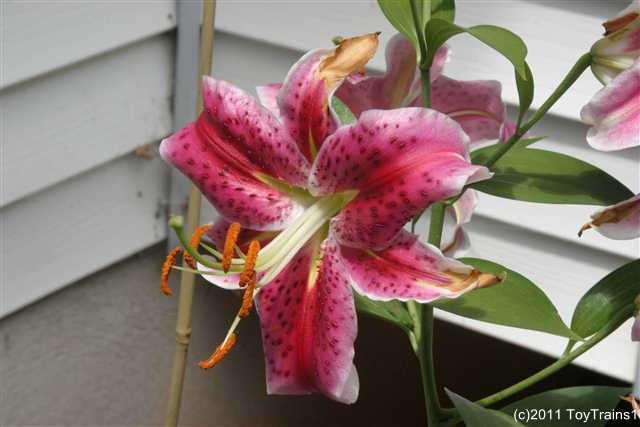 2011 oriental lily