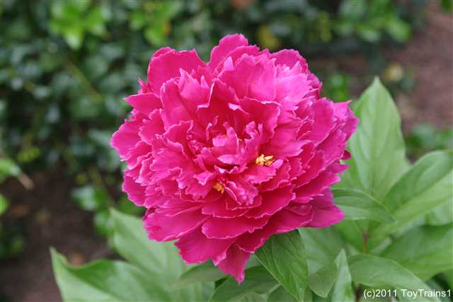 2011 herbaceous peony