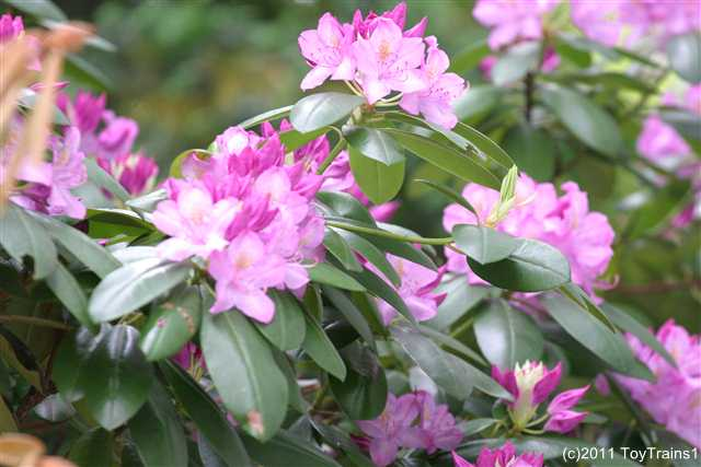 2011 purple rhododendron