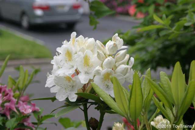 2011 white rhododendron