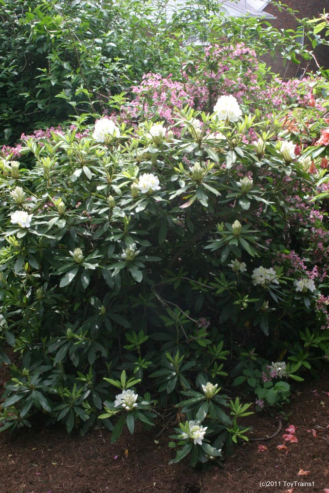 2011 white rhododendrom