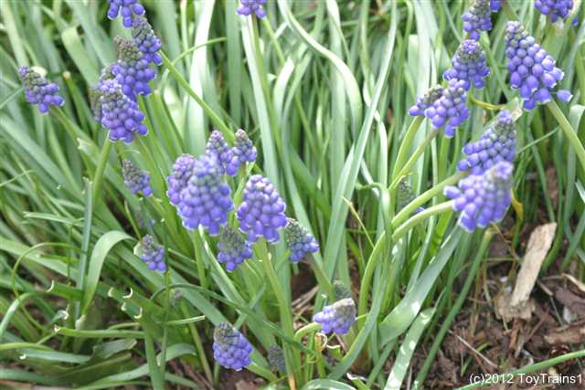2012 grape hyacinth