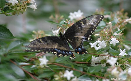 Female Tiger Swallowtail on Abelia