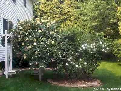 1999 backyard rose garden - Backyard Rose Garden