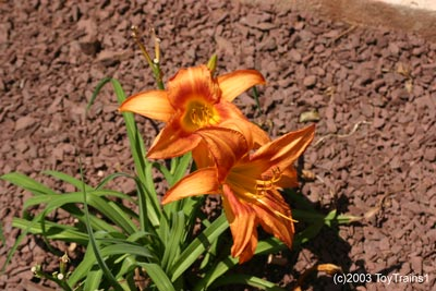 2003 leebea orange crush daylily