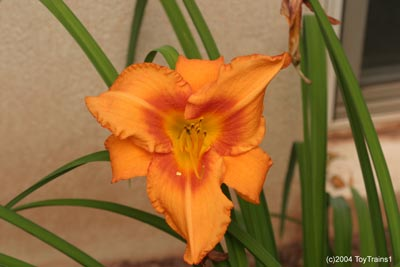 2004 leebea orange crush daylily