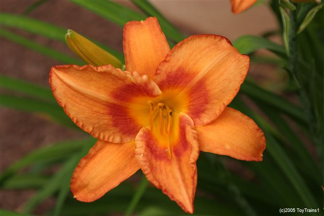 2005 leebea orange crush daylily