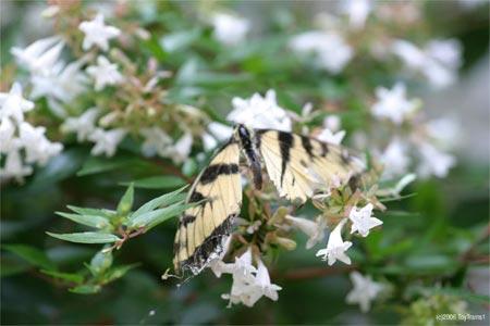 Alas, Poor Swallowtail!
