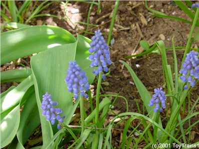 2001 grape hyacinth