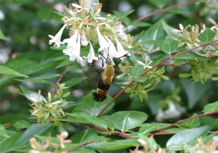 Hummingbird Moth on Abelia