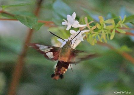 Hummingbird Moth on Abelia