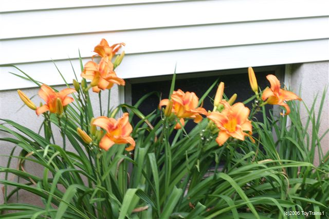 2006 leebea orange crush daylily