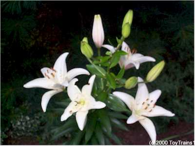 2000 asiatic lily
