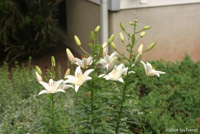 2004 asiatic lily