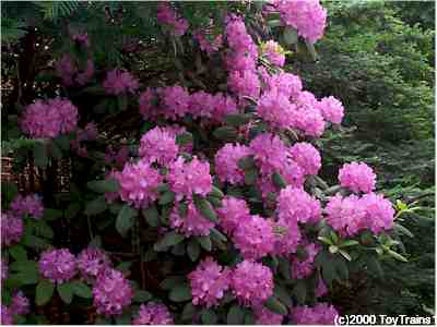2000 rhododendron