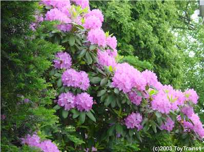 2003 Rhododendrons