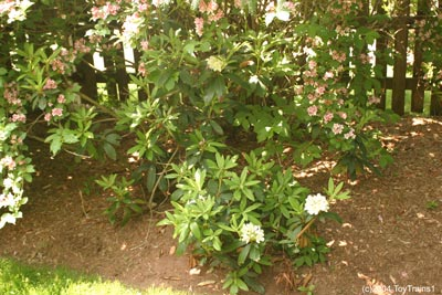 2004 Rhododendrons