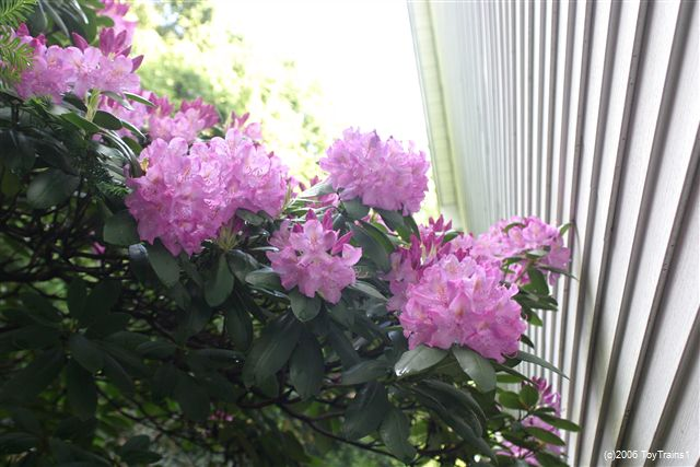 2006 Rhododendrons
