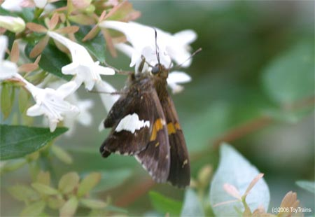 Silver Spotted Skipper on Abelia