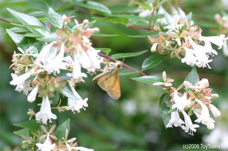 2006 Skipper on Abelia
