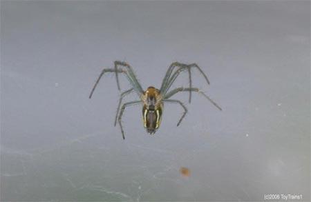 Spider in Abelia