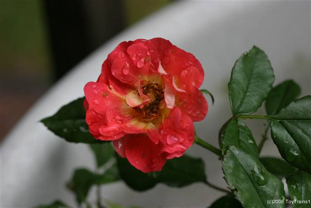 Mini-Rose Caramba