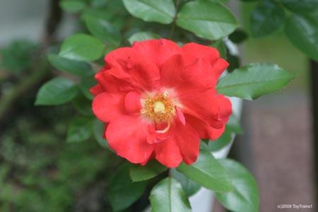 mini rose caramba
