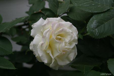 white double delight