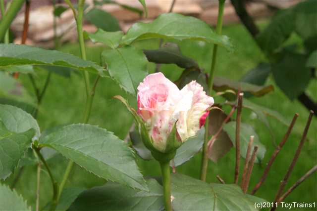 2011 fragrant lace