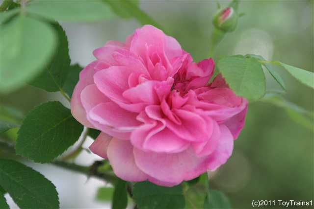 2011 gertrude jekyll
