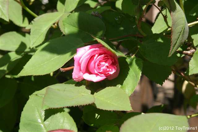 Love Garden Roses: ToyTrains1's Garden Journal